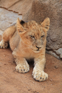 Lion World Cub